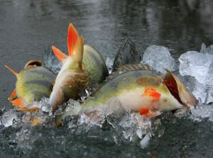окуни в ледяной воде