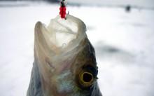 Особенности зимней рыбалки на окуня на мормышку