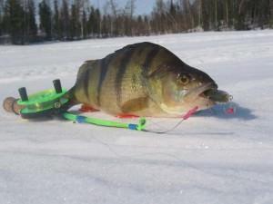 пойманный окунь на льду