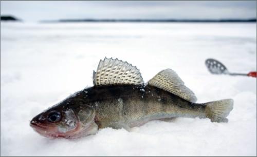 пойманный судак зимой