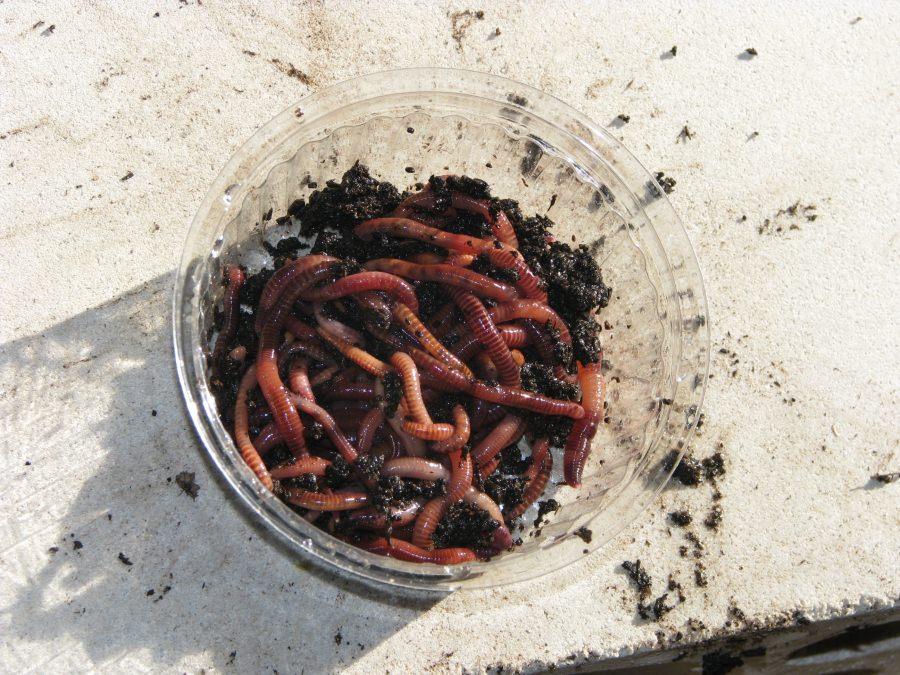 черви для ловли судака