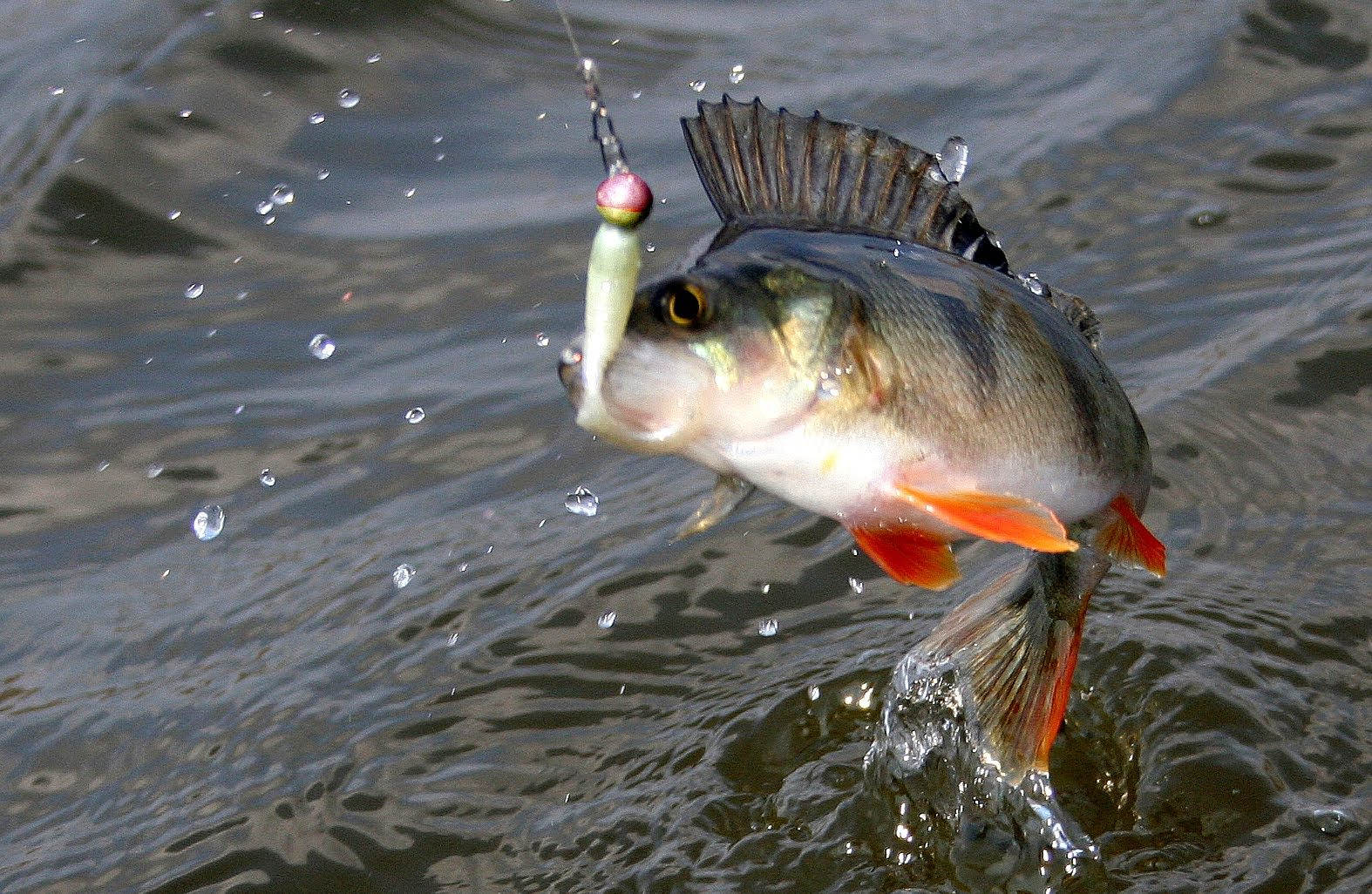 ловля окуня на спиннинг на пруду
