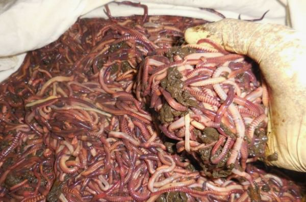 Красные черви как в домашних условиях