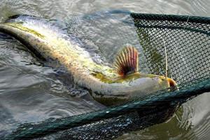 Рыбаки вытаскивают большого сома