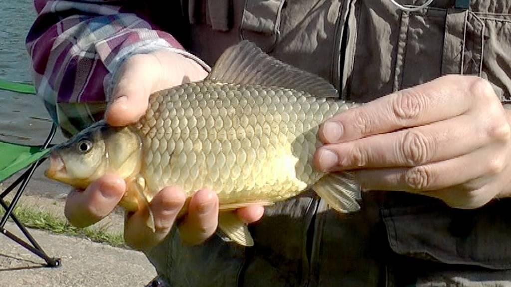 Карась в руках рыбака