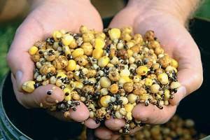 кукуруза для сазана