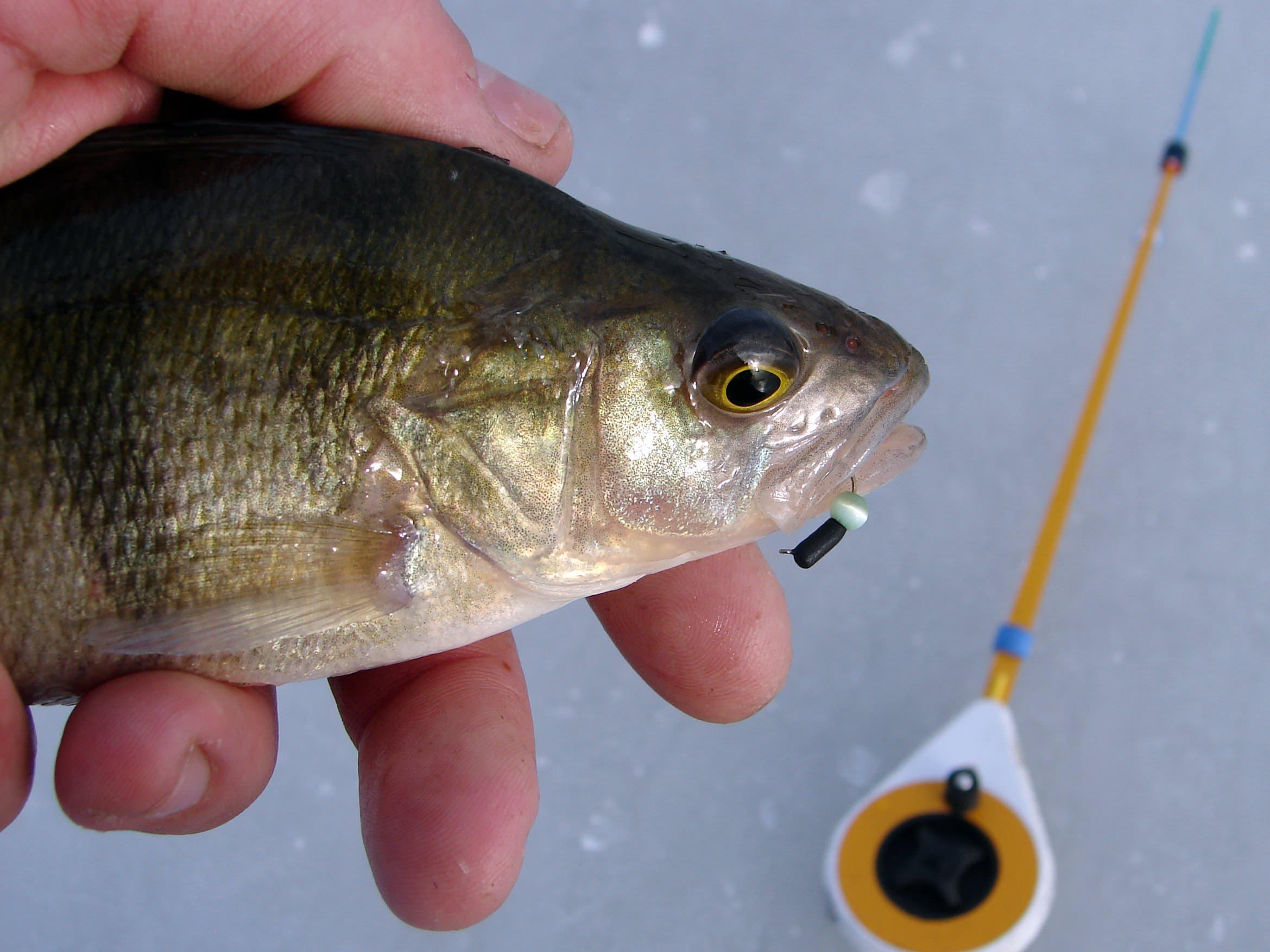 Ловля окуня на безмотылку Как ловить окуня без мотыля на зимней рыбалке