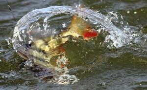 окунь в воде