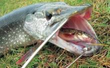 Преимущества и особенности ловли щуки на отводной поводок