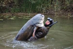 рыбак поймал сома