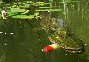 щука в воде летом