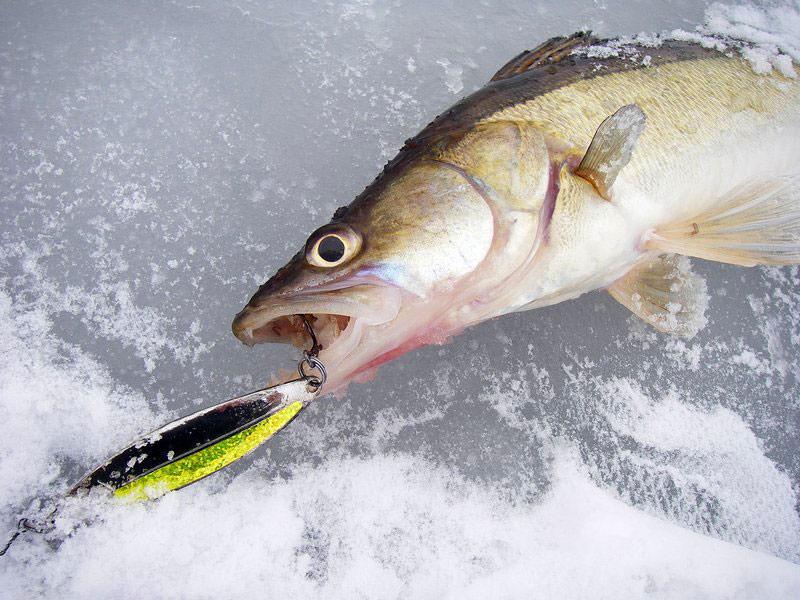 судак пойман на тюльку