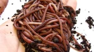 Разведение червей