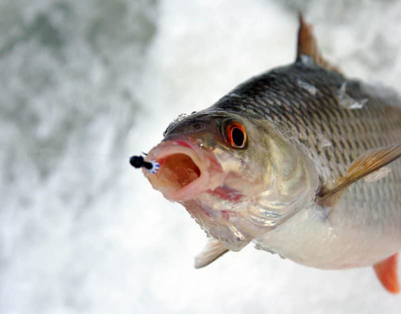 Рыба с мормышкой во рту