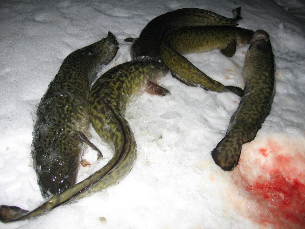 Пять налимов пойманы зимой